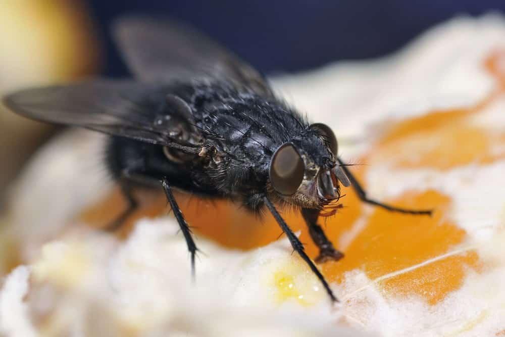Buffalo Gnat (Black Fly)
