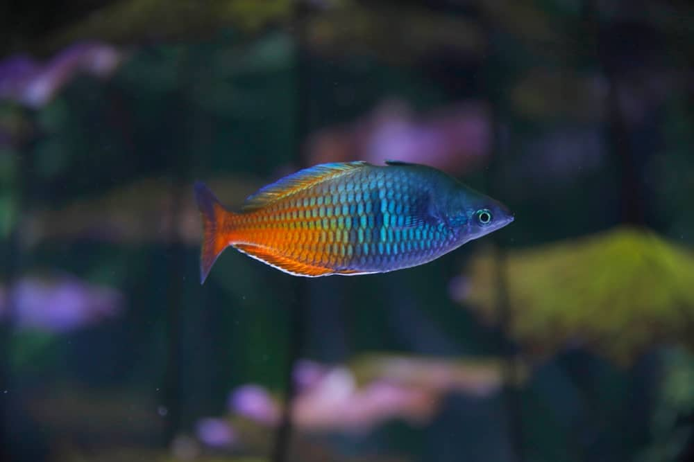 Boesemani Rainbowfish