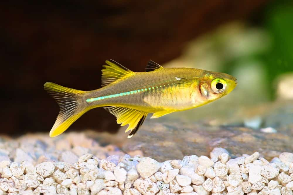 Celebes Rainbowfish
