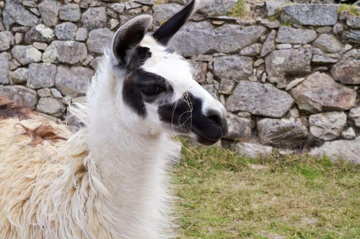 Classic Llama