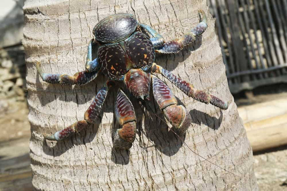 Coconut crab crawling down a coconut tree.
