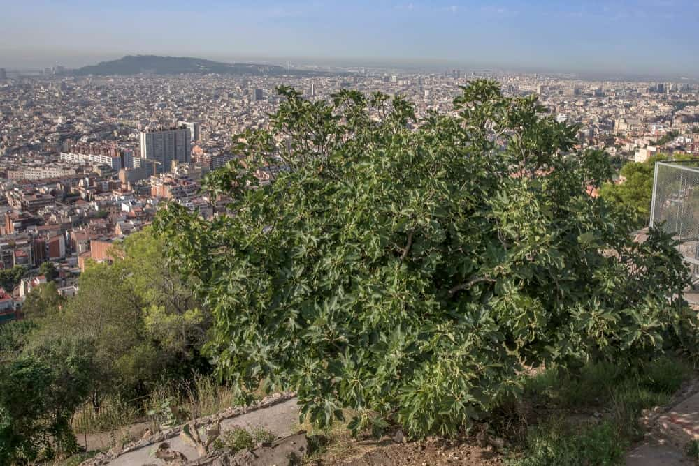 Common fig trees with an overlooking view of the city.