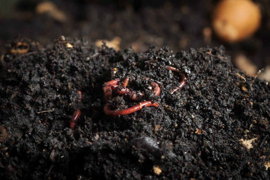 composting red worms