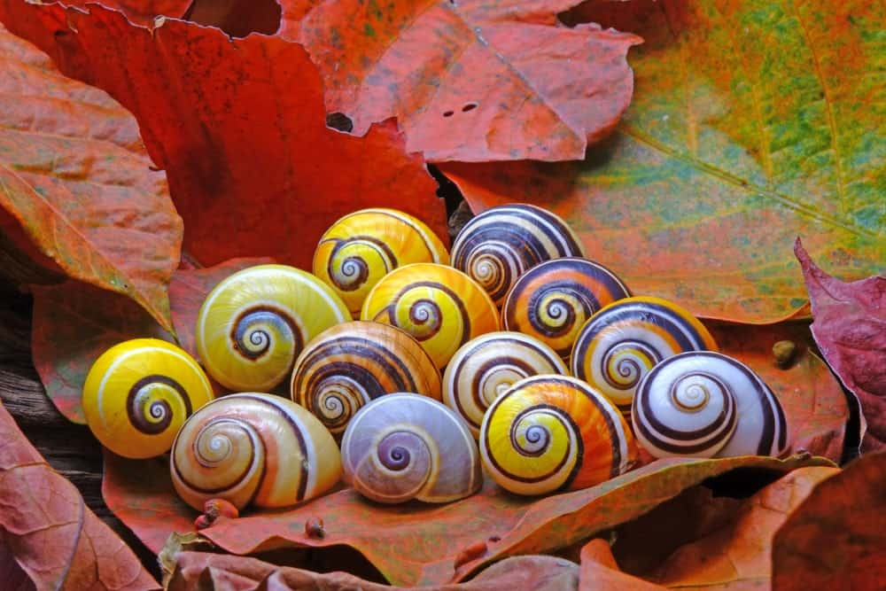 Cuban snails on autumn leaves.