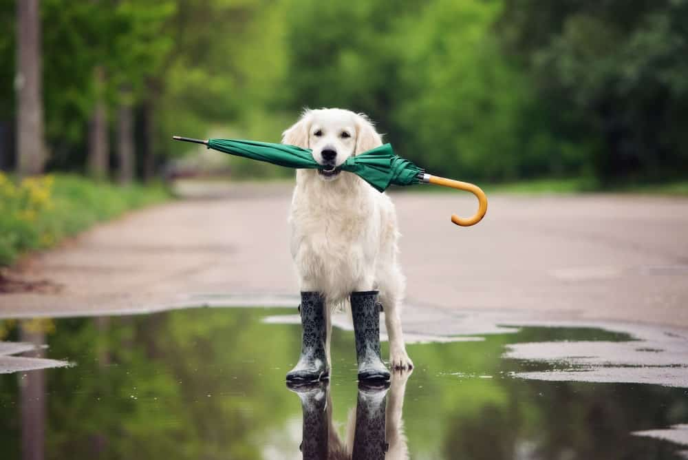 A dog wearing a pair of boots on a puddle of water and biting a green umbrella.