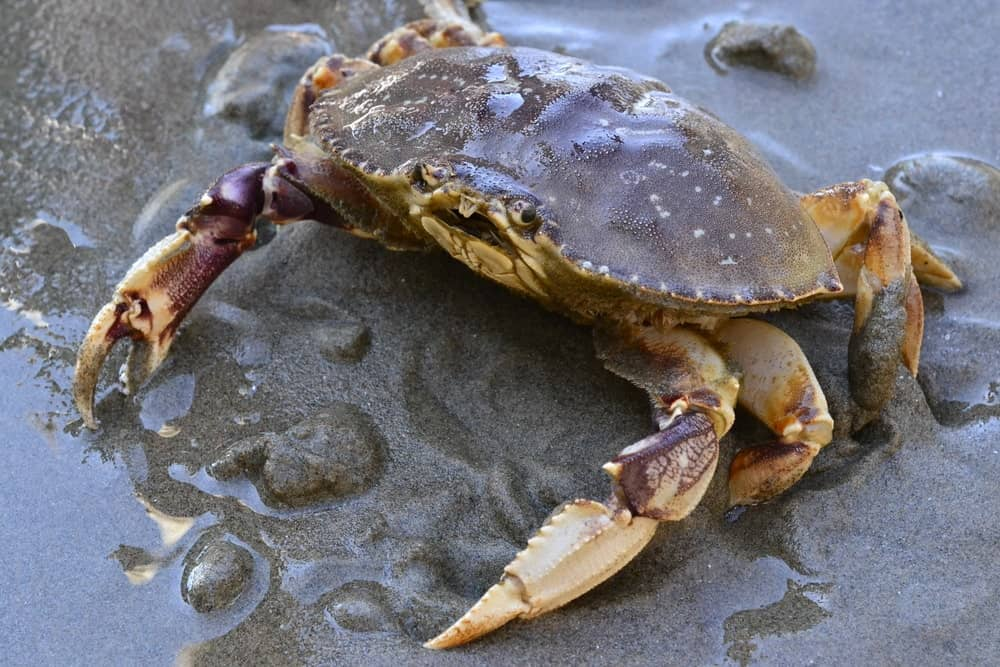 Dungeness crab on sea sand