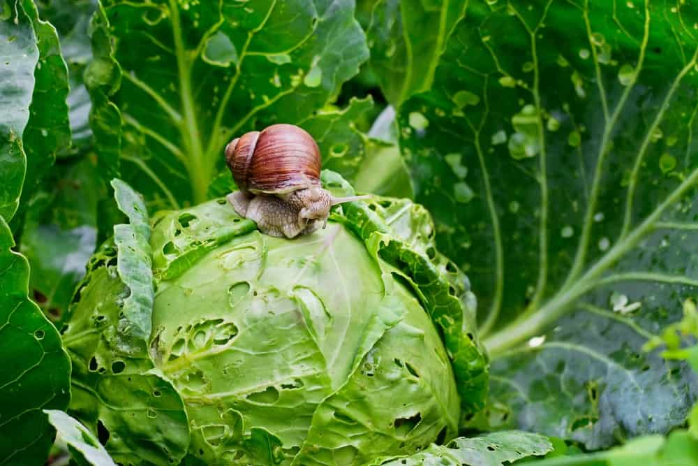 A garden snail sits on a cabbage in a garden.