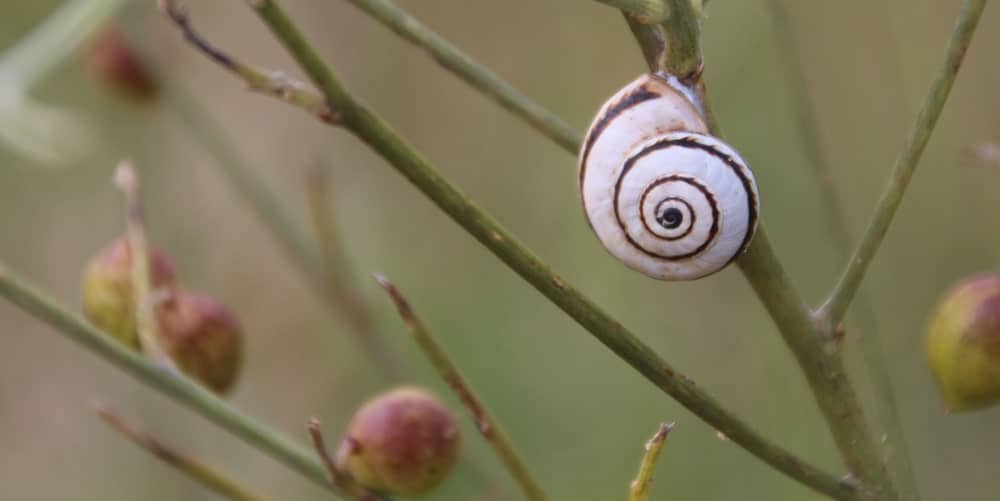 Closeup of Mediterranean green snail on a plant stem.