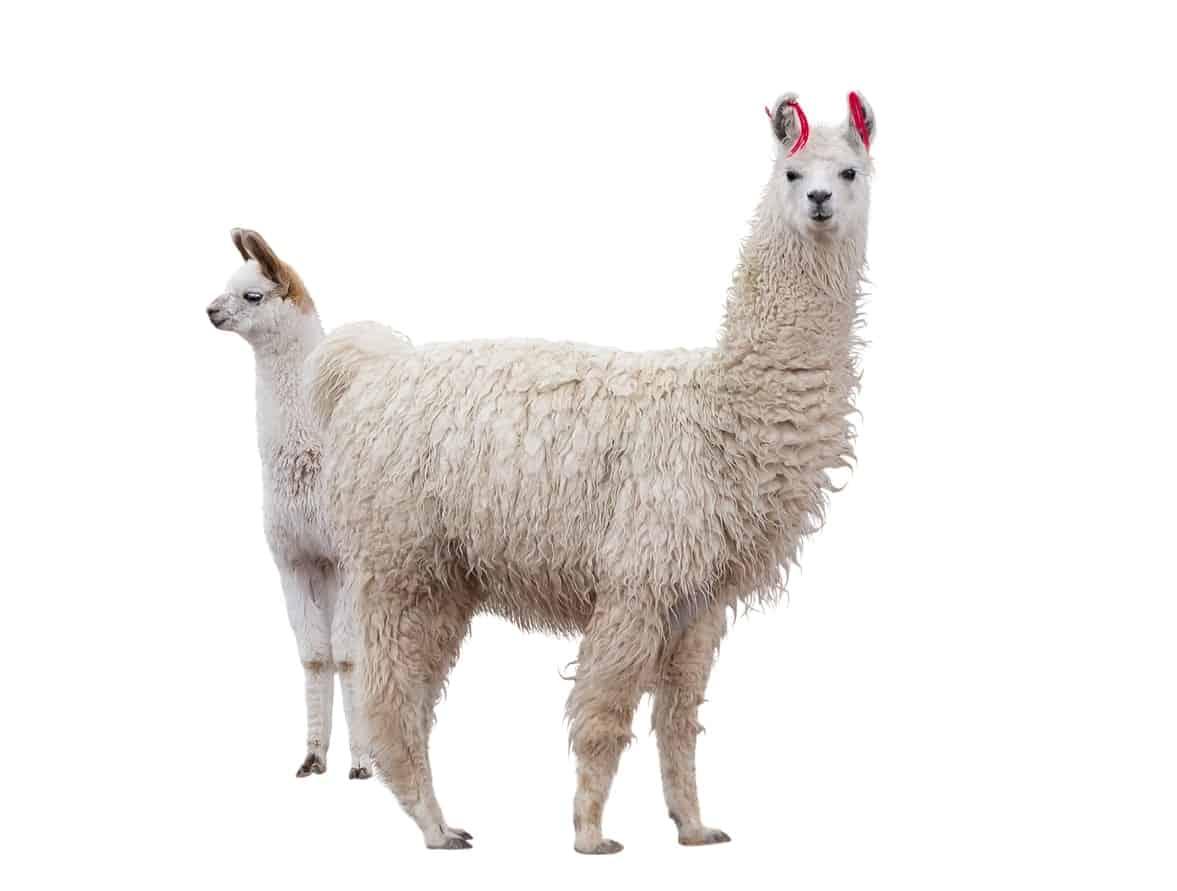 Medium Llamas