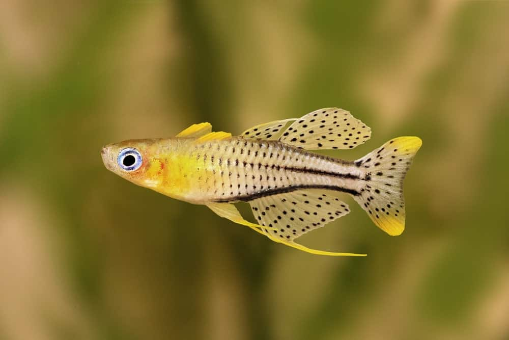 Pseudomugil Rainbowfish