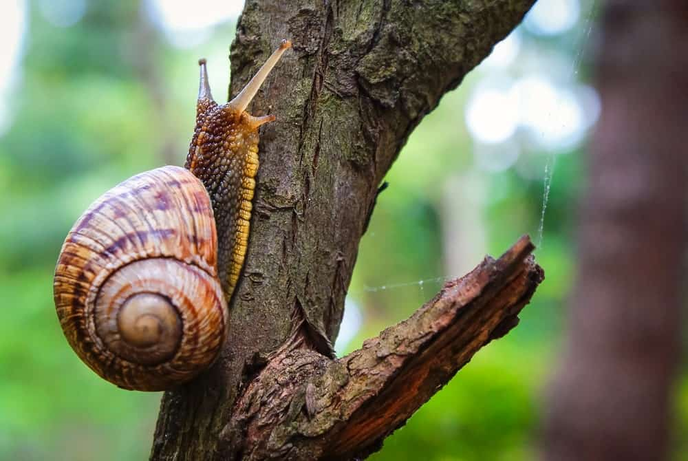 A Roman snail on a tree.
