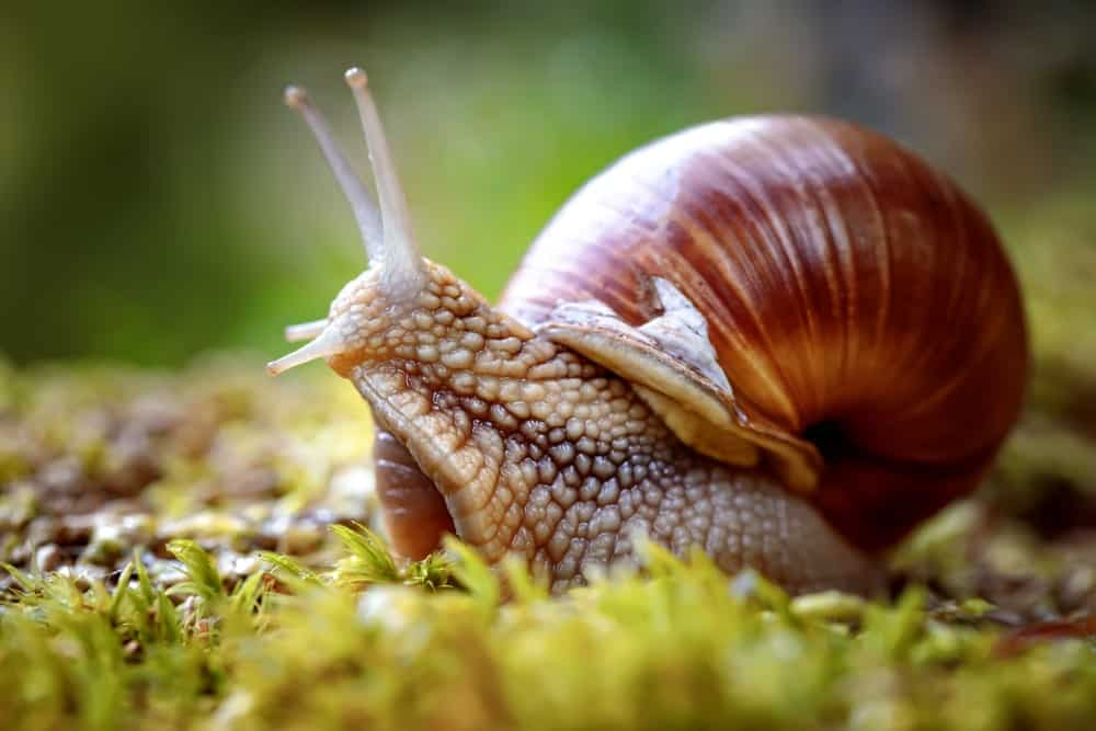 Closeup of a Roman snail.