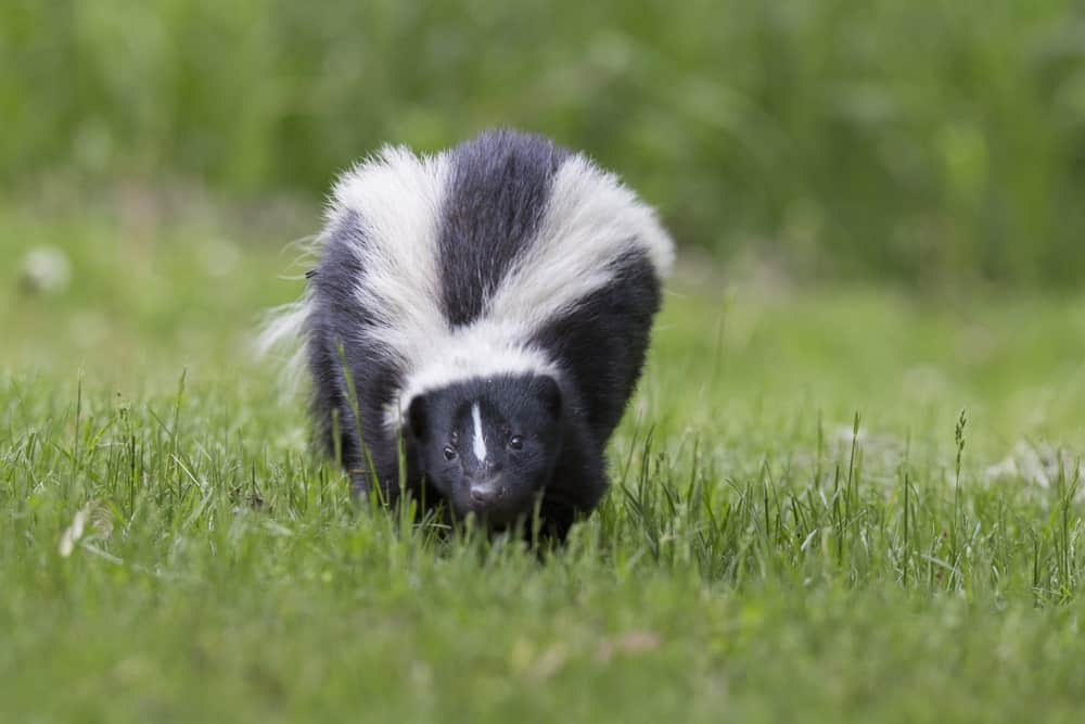Striped skunk on green grass.