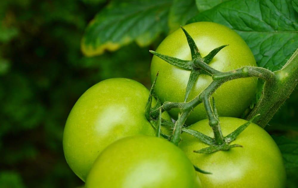 Carmello Tomatoes