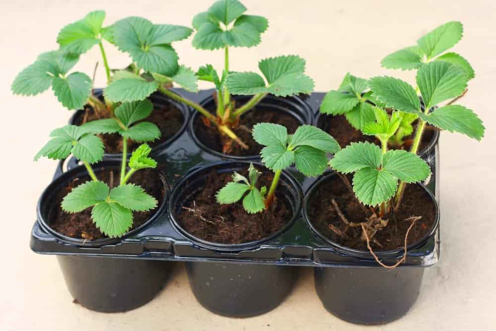 Elsanta Strawberries Plant