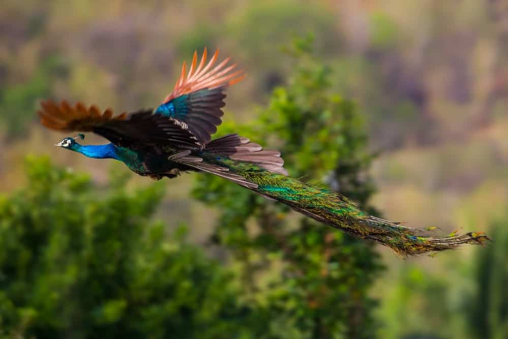 Peacock flying in the air.