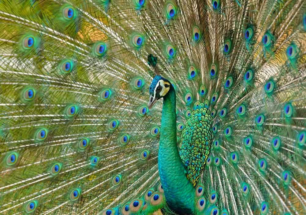 Green Peacock in full display of his colorful feathers.
