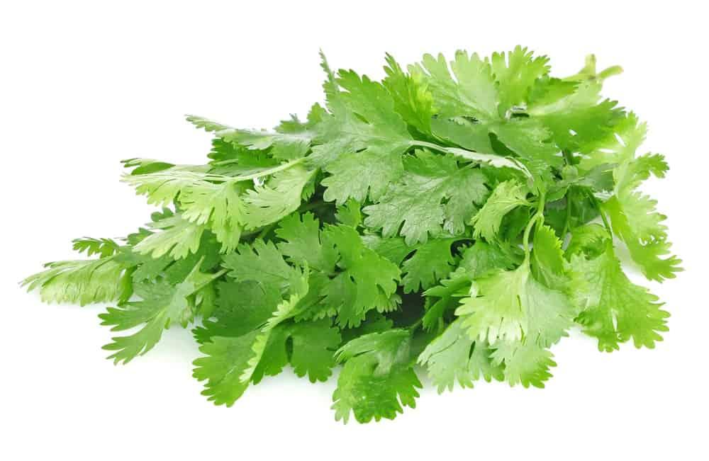 Leaf Cilantro