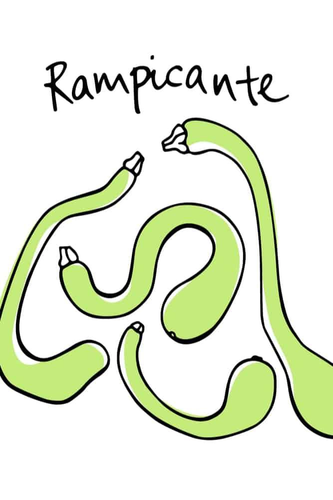 Twisted Rampicante Zucchini