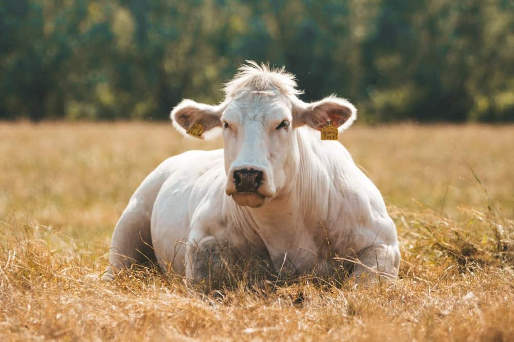 White Belgian Blue cow