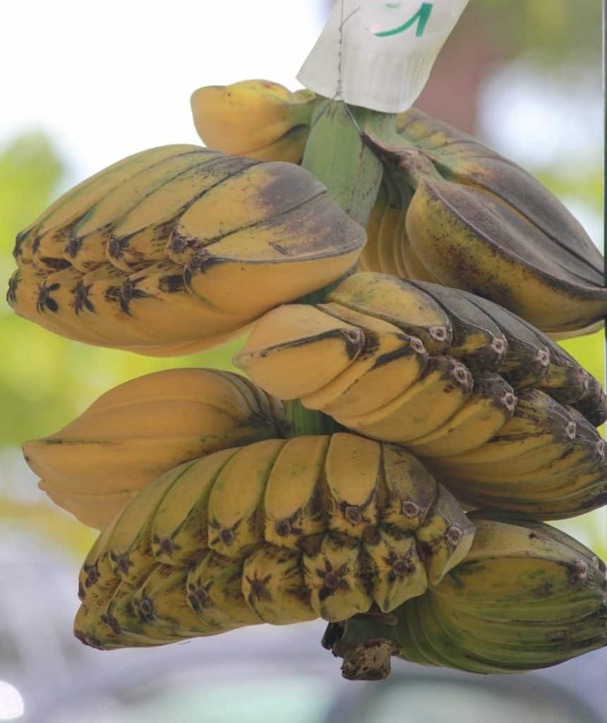 Ripe Saba bananas
