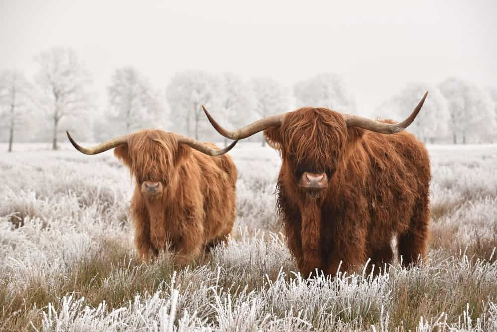 Two Scottish Highland cows!