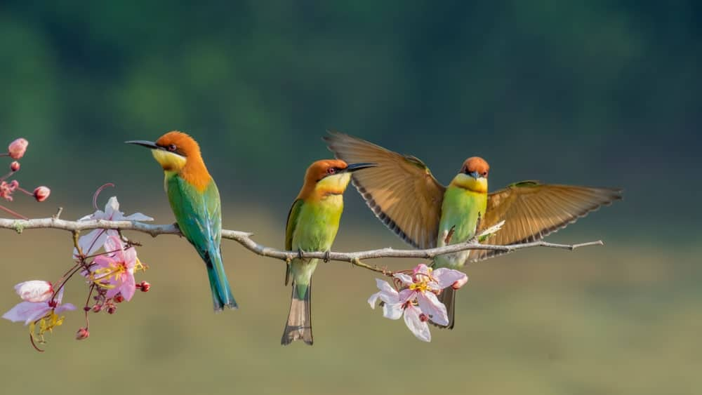 Three Chestnut Headed Bee-Eaters
