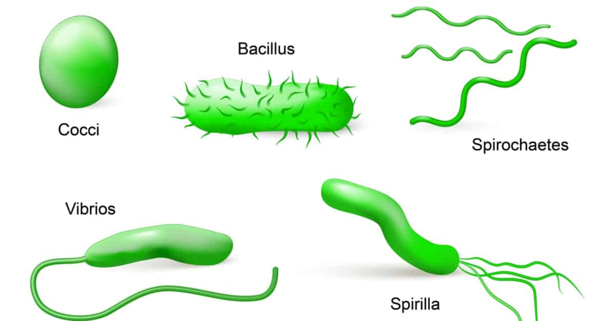 Types of Bacteria According to Shapes