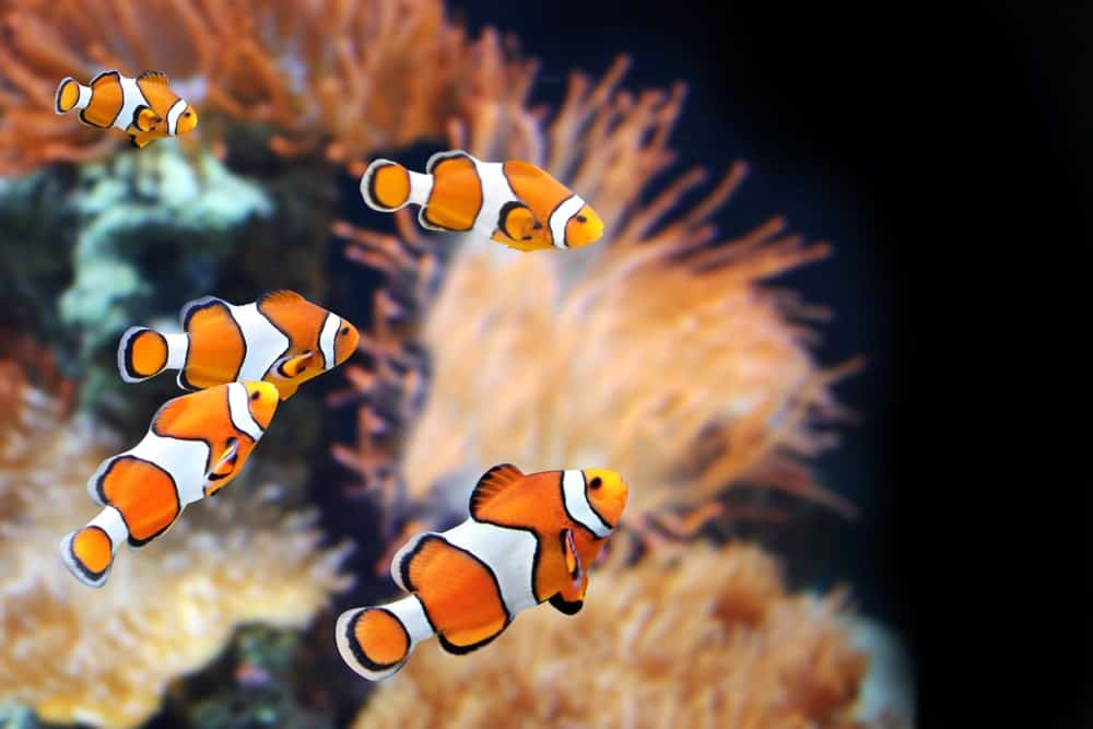 Clownfishes in an aquarium