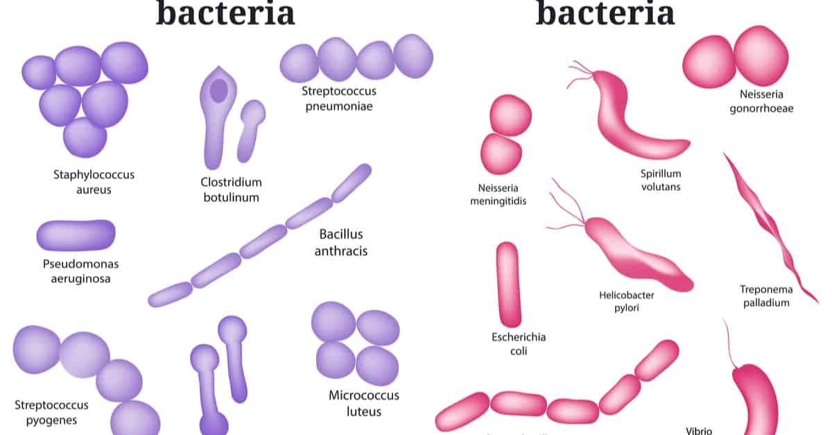 Types of Bacteria According to Cell Wall Composition