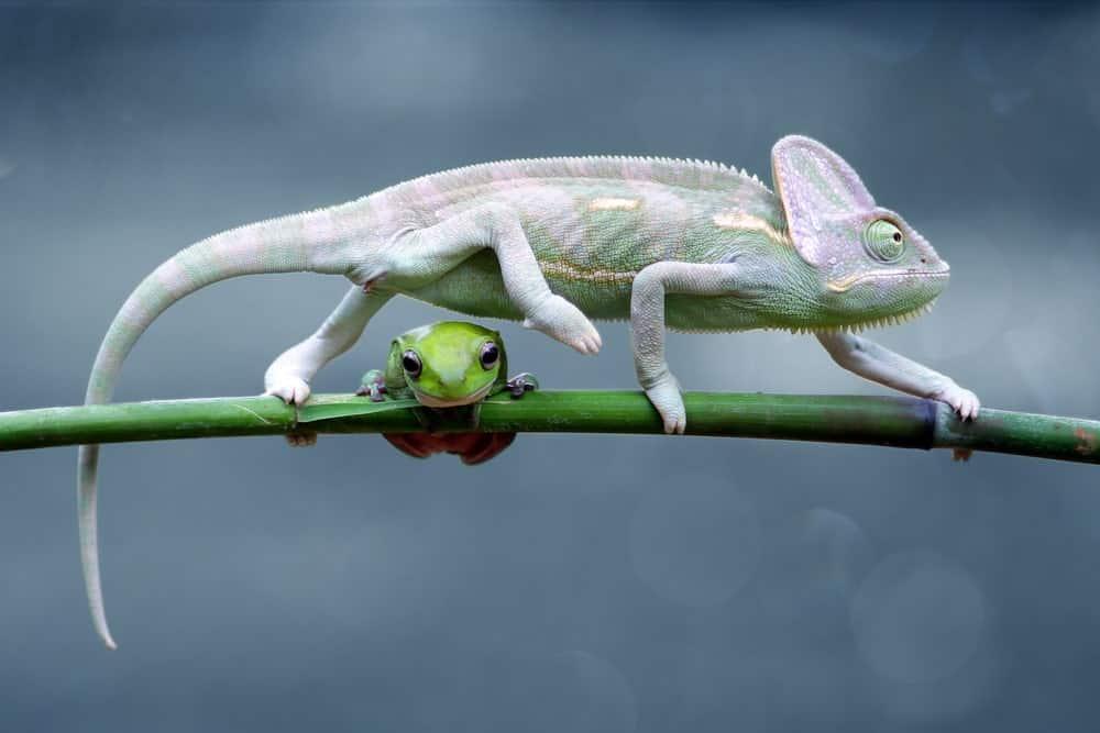 Frog and Chameleon