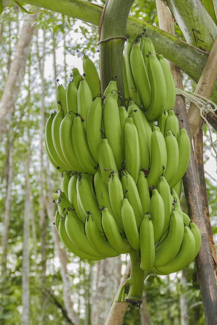 Green Giant Cavendish Banana
