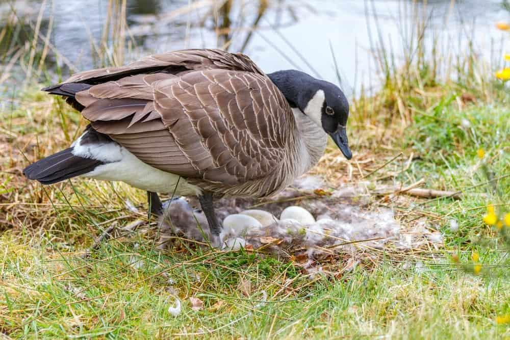 Canadian goose eggs
