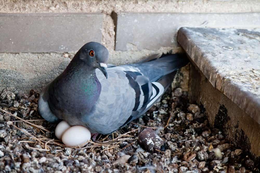 Pigeon eggs are delicacies in Asian cuisine