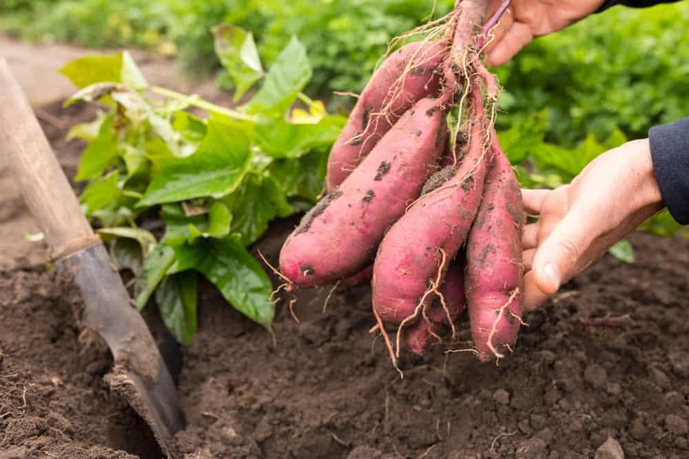 """Bunch"" Porto Rico Sweet Potatoes"