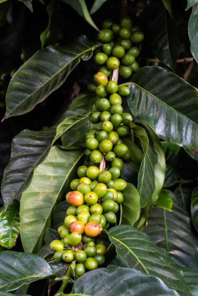 Caturra Beans