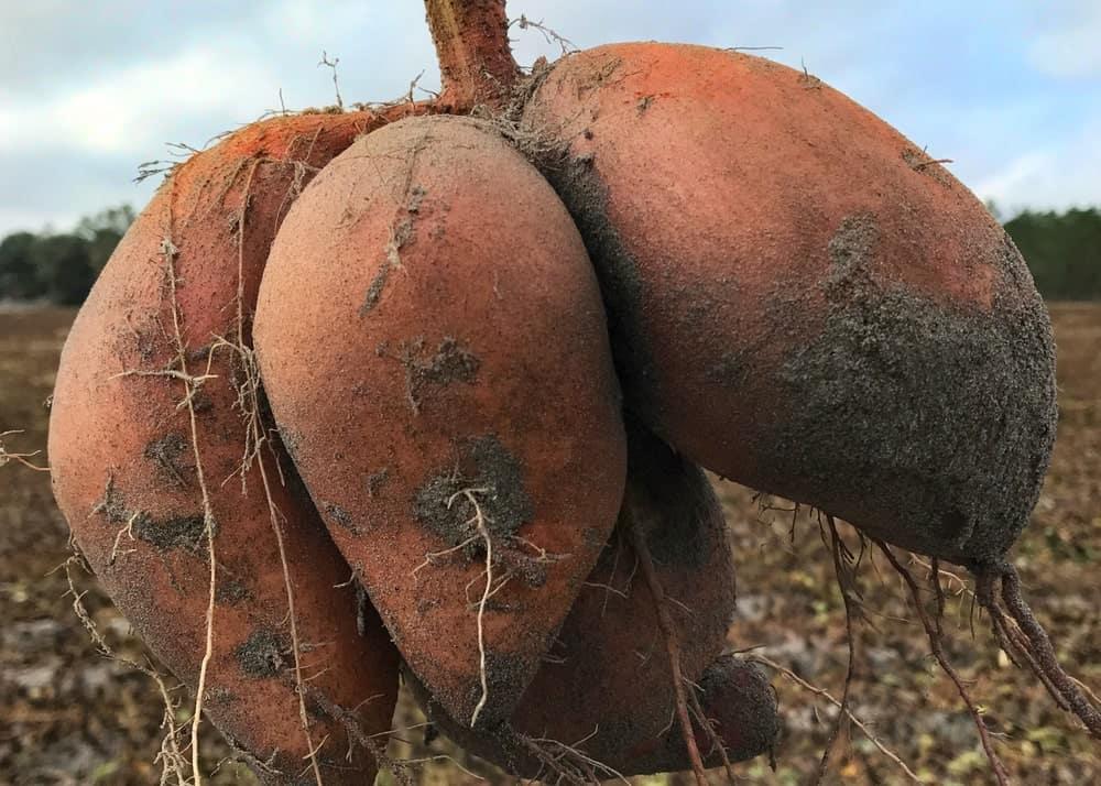 Covington Sweet Potatoes