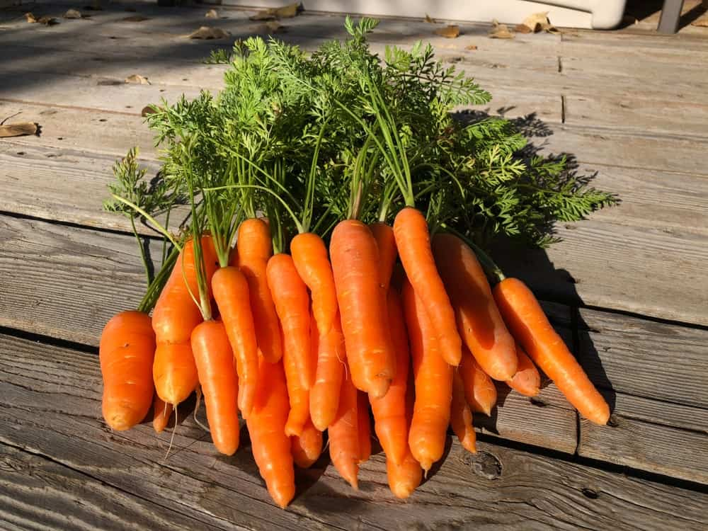 Danvers Carrot Varieties