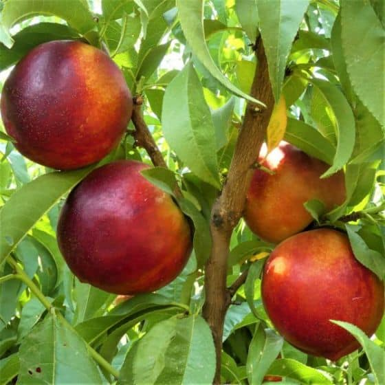 Independence Nectarine