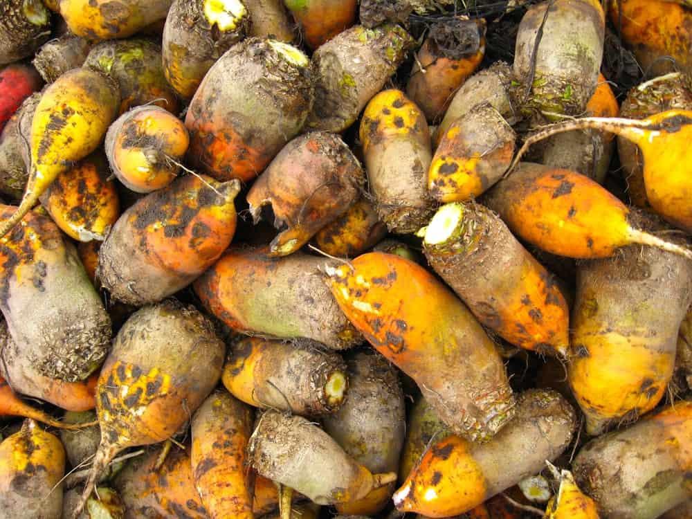 Mangel-Wurzel Beets