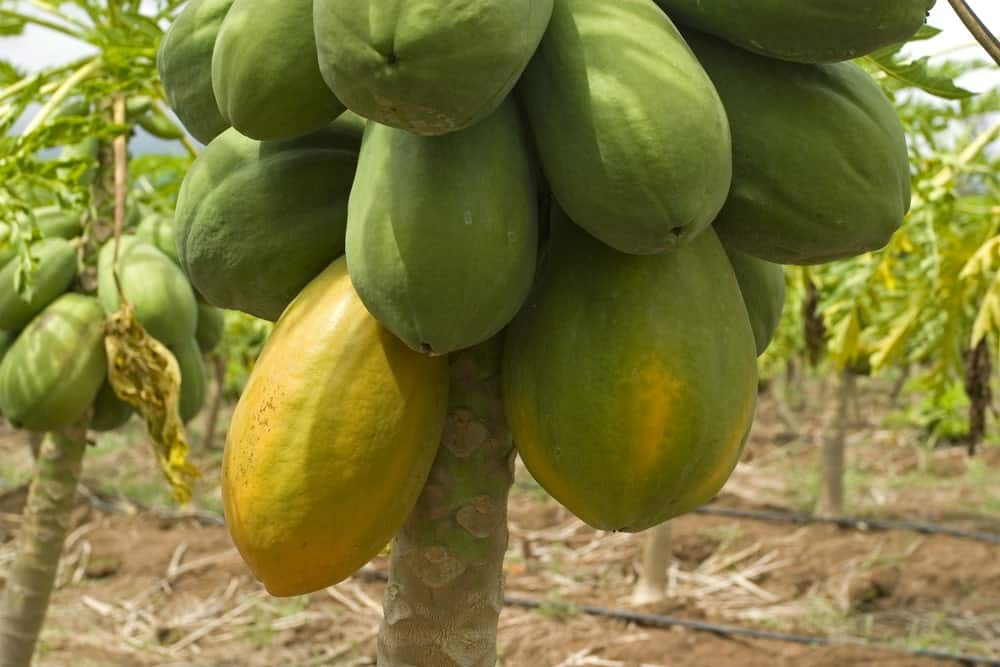 Mexican papayas on a tree.