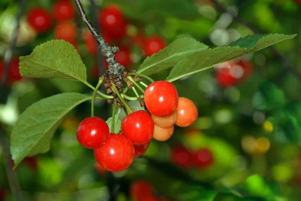 Montmorency Cherries