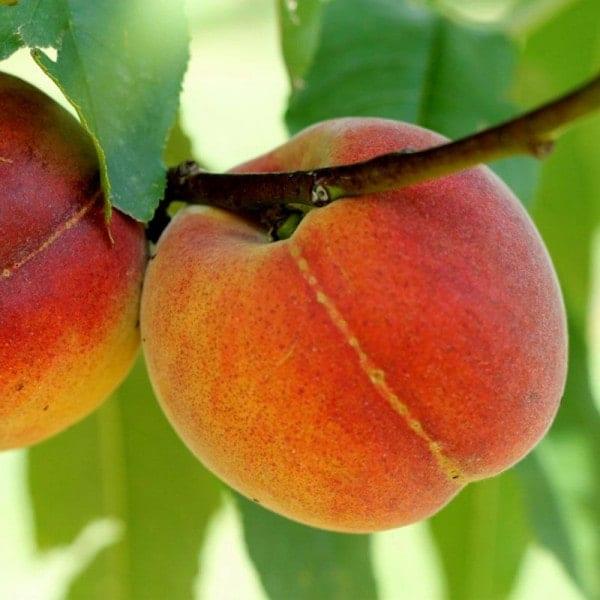 Nectar Babe Nectarine