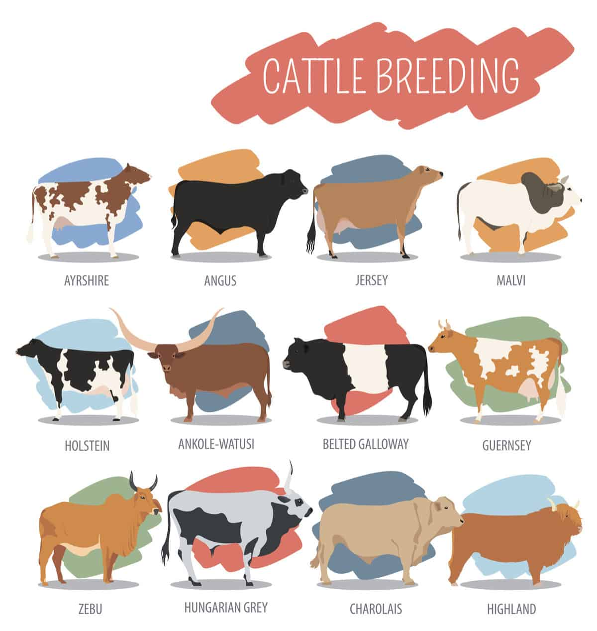 types of cows chart