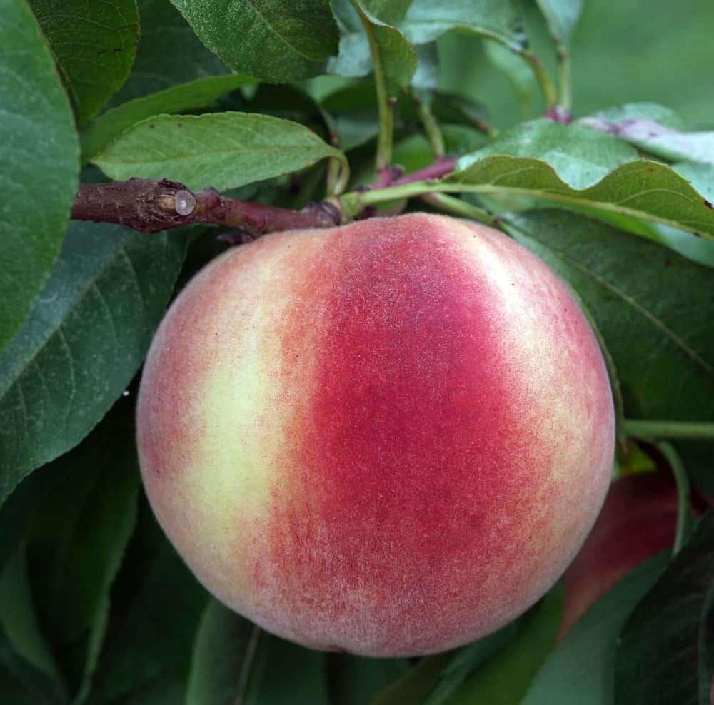White Flesh Peach