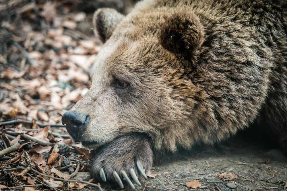 Wild Marsican Brown bear