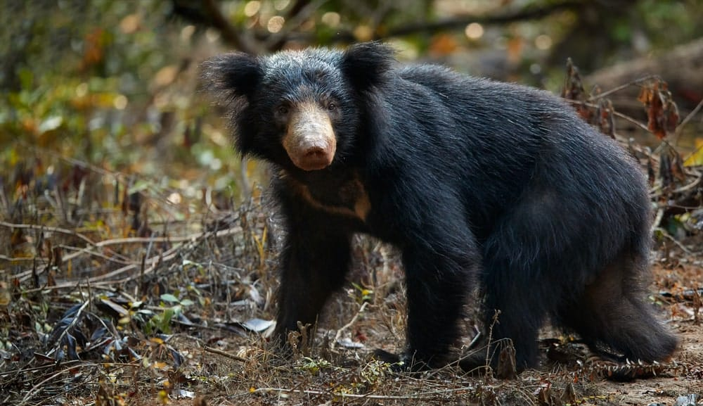 Sloth bear in wild
