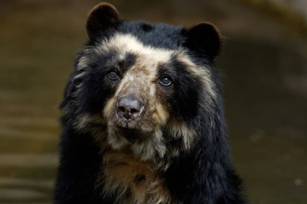 Wild spectacled bear