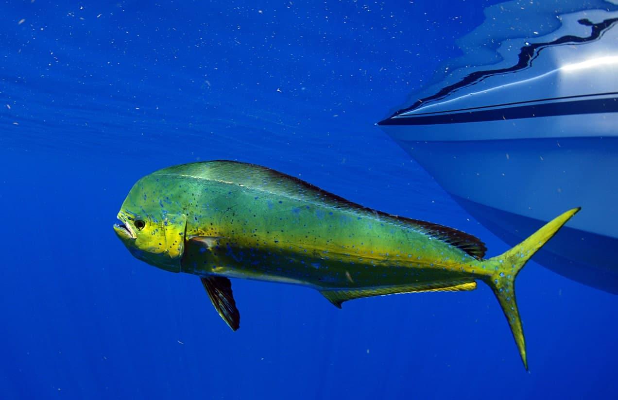 Dorado dolphin fish