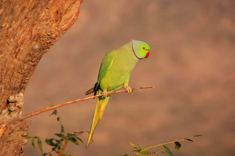 A Green Ring-Necked Parakeet
